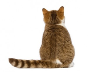 Rear view of British Shorthair kitten, 3.5 months old, sitting and looking up in front of white background